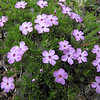 Phlox diffusa (trail to Mount Townsend from upper trailhead)