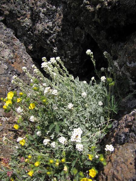 Smelowskia calycina (Klahane Ridge from Switchback Trail, Olympic Mountains)