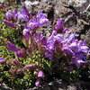 Penstemon davidsonii (Klahane Ridge from Switchback Trail, Olympic Mountains)