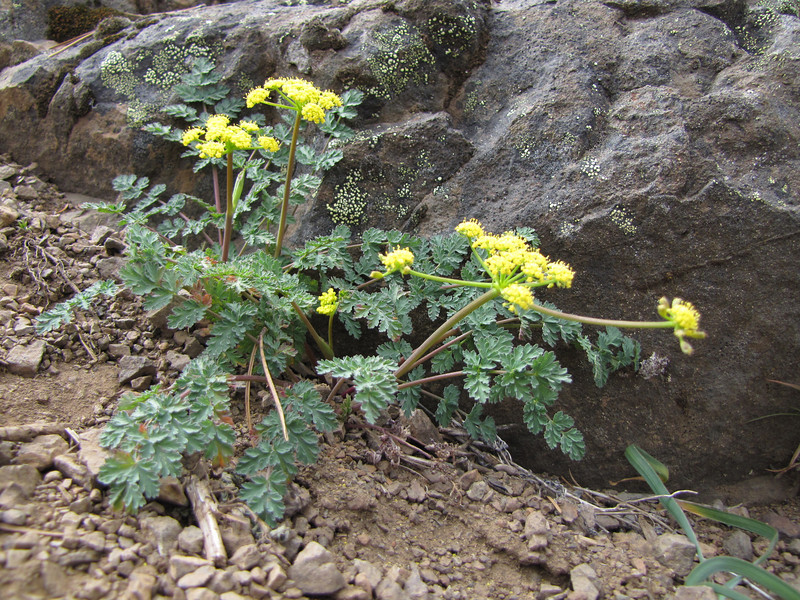 Lomatium martindalei? (trail to Mount Townsend from upper trailhead)