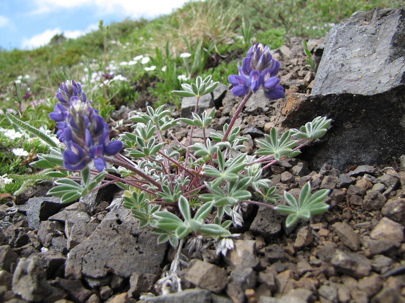 Lupinus lyallii or lepidus (trail to Mount Townsend from upper trailhead)