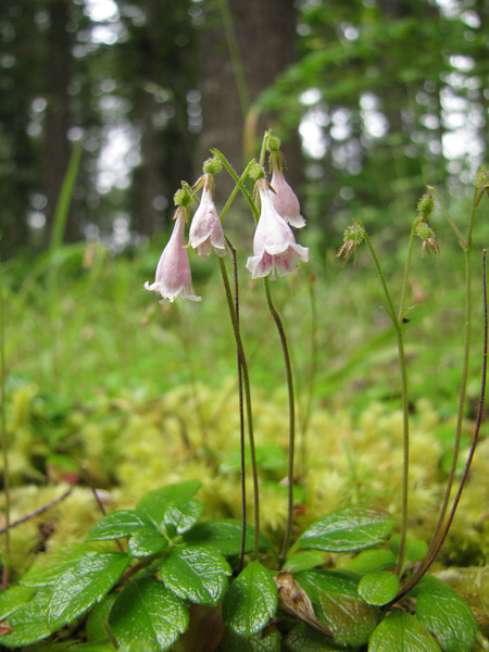 Linnaea borealis (near Quilcene)