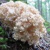 Ramaria spec. Fungus (trail to Mount Townsend from upper trailhead)