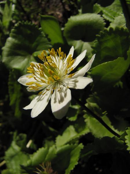 Caltha leptosepala ssp. leptosepala (near Hurricane Ridge, Olympic Mountains)