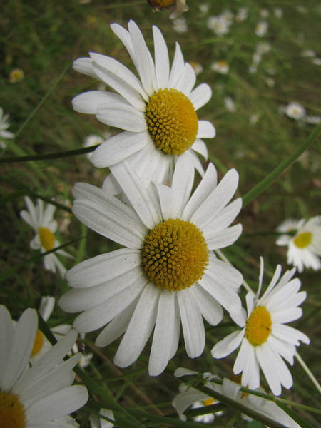 Leucanthemum vulgare (non native)(foothills of Olympic Mountains, not far from Sequim)