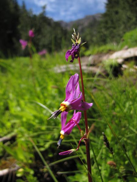 Dodecatheon jeffreyi (near Switchback trail trailhead)