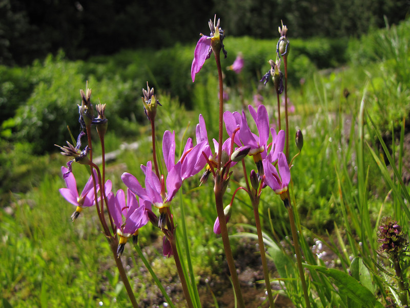 Dodecatheon jeffreyi (near Switchback trail trailhead)