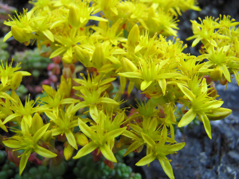 Sedum divergens, the opposite leaves are unique among the Olympic Mountain Sedum species (between Quilcene and upper trailhead Mount Townsend)