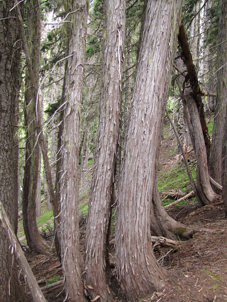 trunk of Chamaecyparis nootkatensis (Switchback Trail, Olympic Mountains)