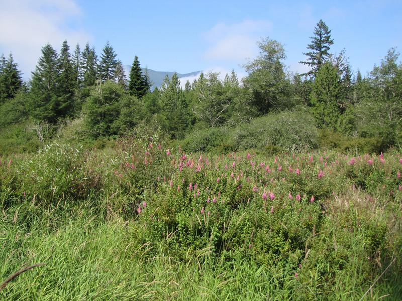 wet habitat of Spiraea douglasii var. menziesii, roadsite 101 South Washington