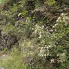 Aruncus dioicus (near Quilcene)
