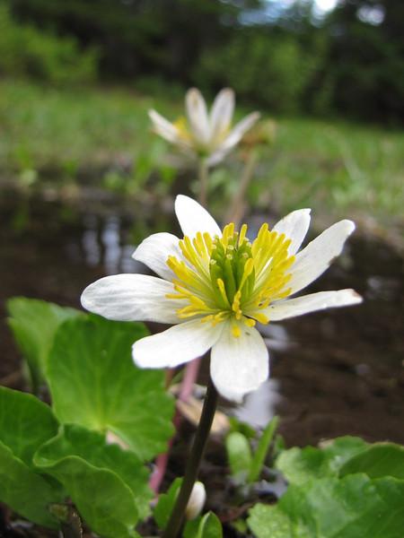 Caltha leptosepala ssp. leptosepala (trail to Mount Townsend from upper trailhead)