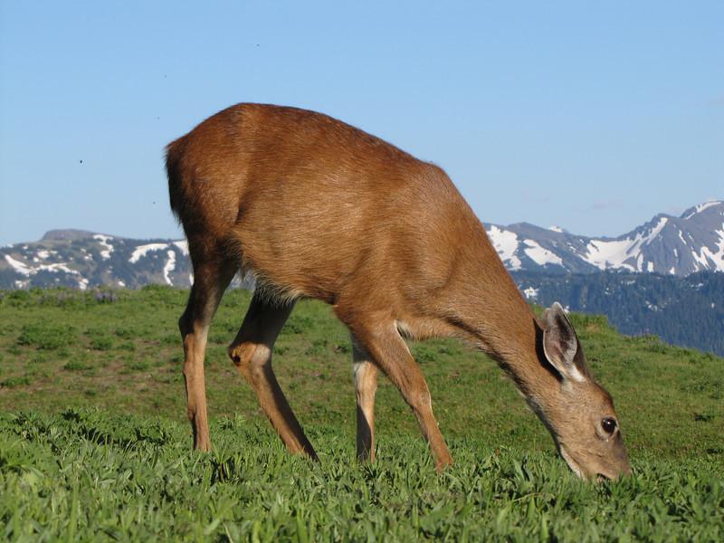 Odocoileus columbianus, Columbian black-tailed deer, female (Hurricane Ridge, Olympic Mountains)