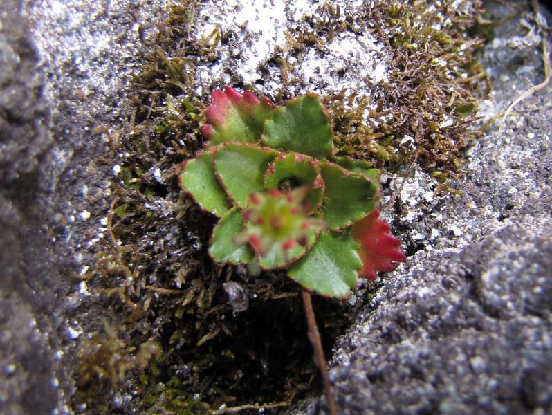 Micranthes tischii (North side of Klahane Ridge, Olympic Mountains)