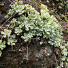 Sedum spathulifolium (near Quilcene)