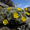 Potentilla villosa (Klahane Ridge from Switchback Trail, Olympic Mountains)