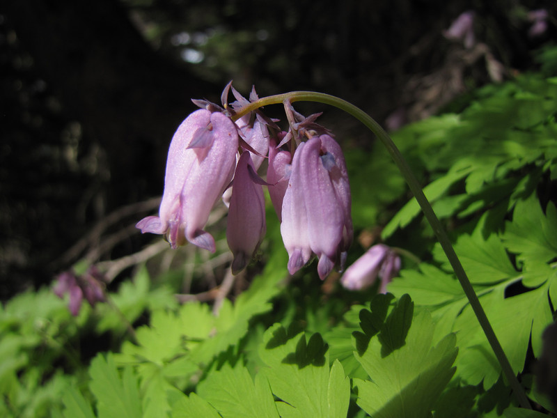 Dicentra formosa ssp. formosa (Switchback Trail, Olympic Mountains)
