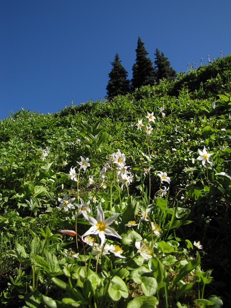 Erythronium montanum (near Hurricane Ridge, Olympic Mountains)