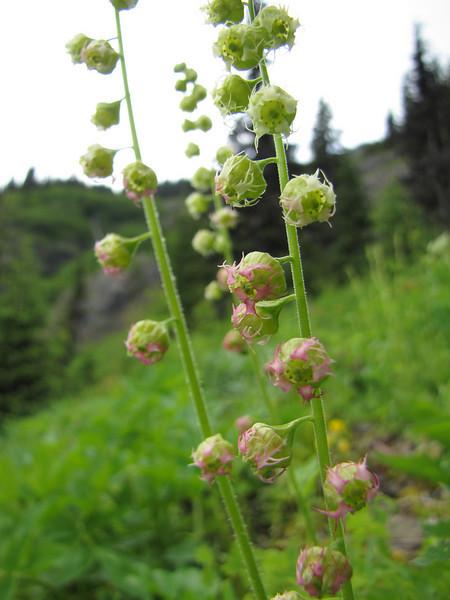 Tellima grandiflora<br />  (trail to Mount Townsend from upper trailhead)