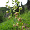 Tellima grandiflora<br />  (trail to Mount Townsend from upper trailhead)