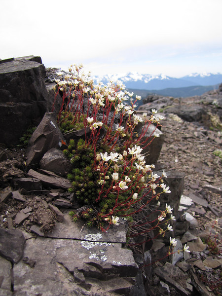 Saxifraga bronchialis austromontana (North side of Klahane Ridge, Olympic Mountains)