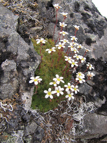 Saxifraga caespitosa (Mount Townsend, summit ridge)