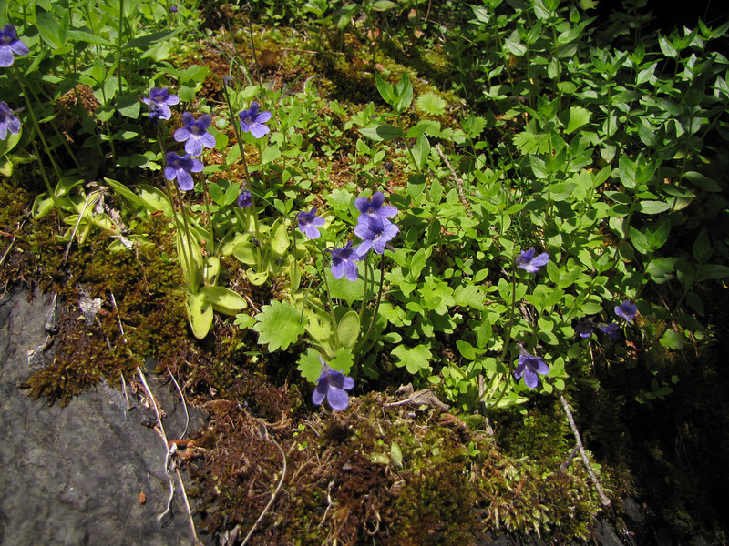 Pinguicula vulgaris and Micranthes nelsoniana ssp. cascadensis (near Switchback trail trailhead)