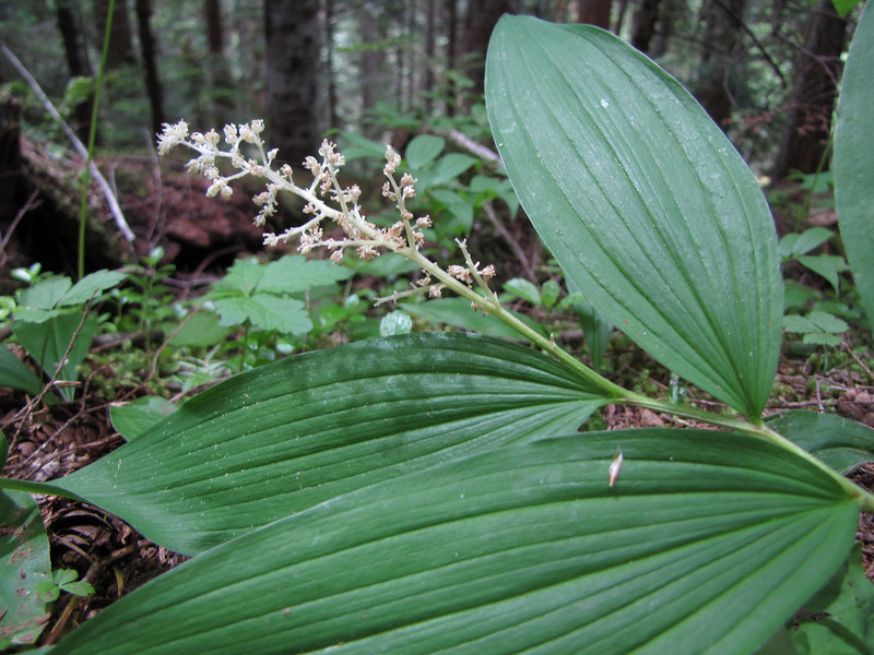 Smilacina racemosa (trail to Mount Townsend from upper trailhead)