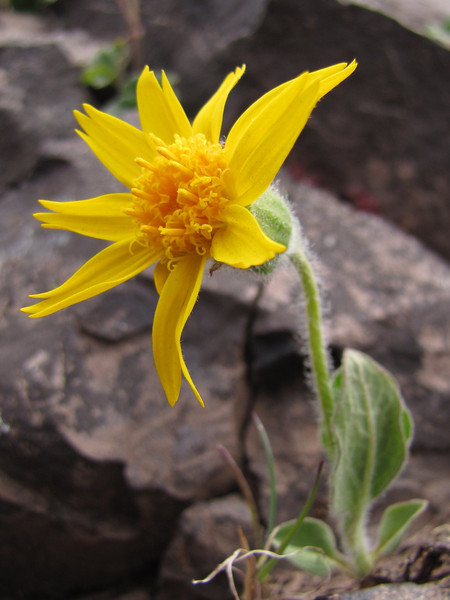 close up Arnica mollis, Hairy arnica (Klahane Ridge from Switchback Trail, Olympic Mountains)
