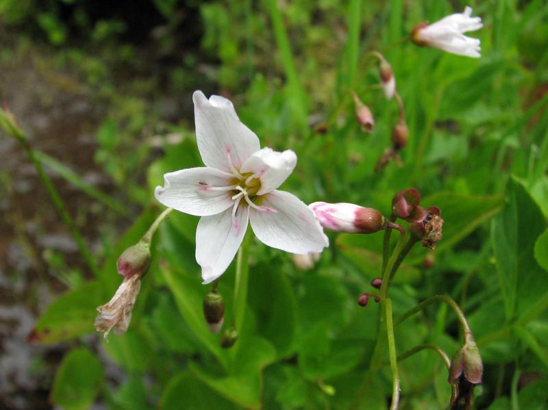 Claytonia spec. (near Switchback trail trailhead)