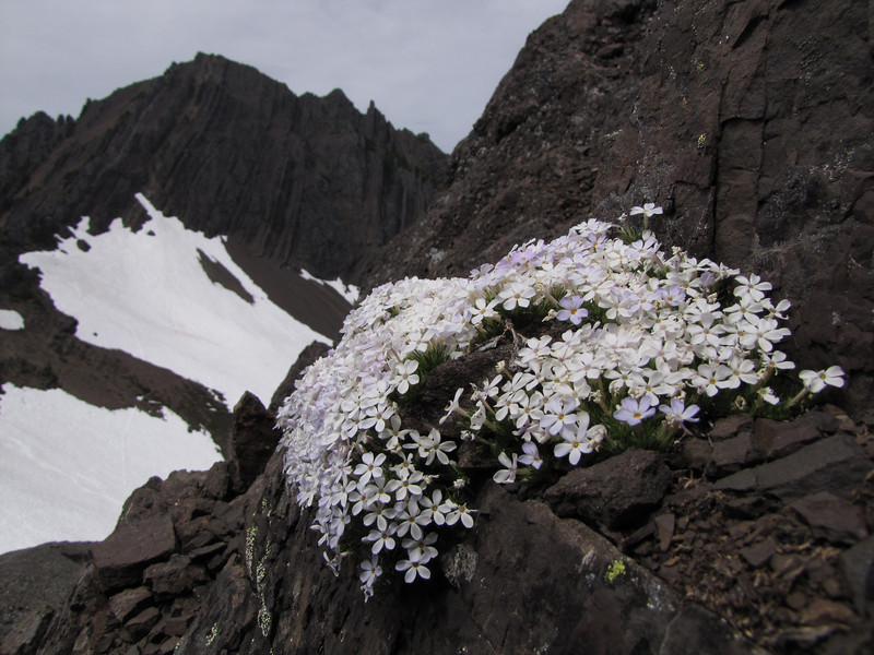 Phlox diffusa (Klahane Ridge, Olympic Mountains)