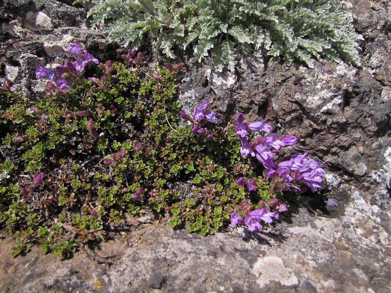 Penstemon davidsonii (Klahane Ridge from Switchback Trail, Olympic Mountains)