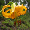 Lilium columbianum (between Quilcene and upper trailhead Mount Townsend)