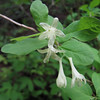 Lonicera utahensis (trail to Mount Townsend from upper trailhead)