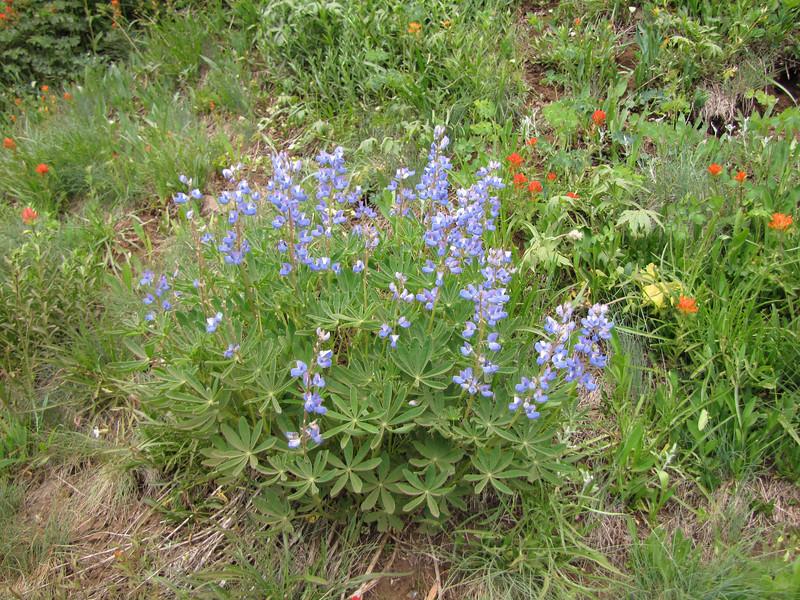 Lupinus latifolius (Switchback trail)