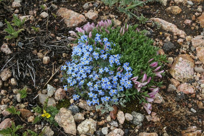Eritrichium nanum and  Trifolium nanum