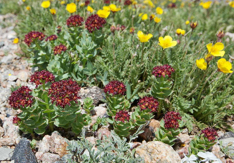 Sedum rhodanthum