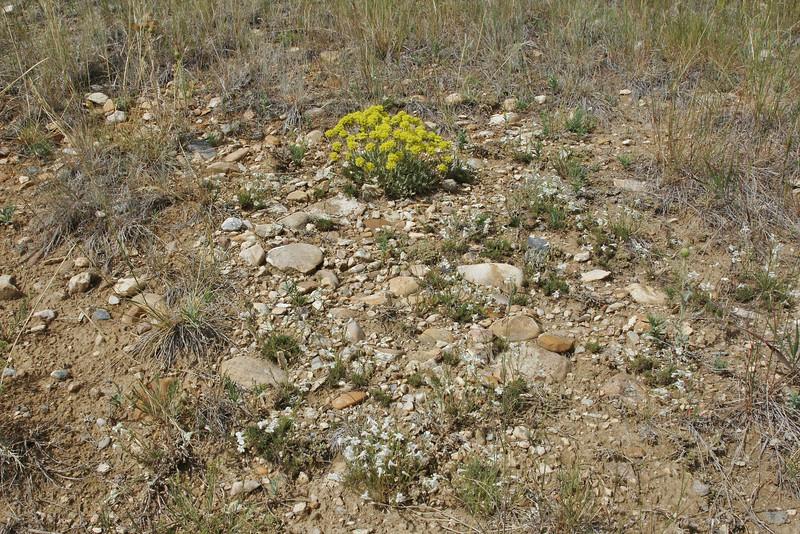 habitat of Eriogonum arcuatum var. arcuatum.) and Penstemon laricifolius ssp. exilifolius