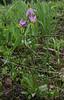 Dodecatheon pulchellum