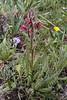 Pedicularis cysto pteridifolia