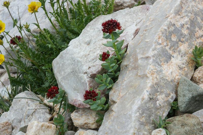 Sedum integrifolium in crevice of quartzite rock