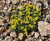 Draba paysonii var paysonii, Payson's Draba, Beartooth Plateau >3000m