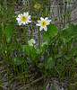 Caltha leptosepala, March Marigold, Custer National Forest, MT.