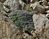 Astragalus kentrophyta