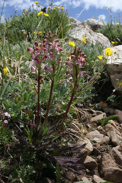 Pedicularis parryi var. purpurea