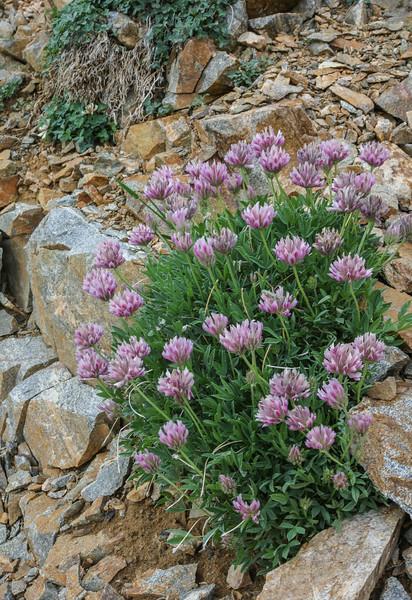 Trifolium dasyphyllum,