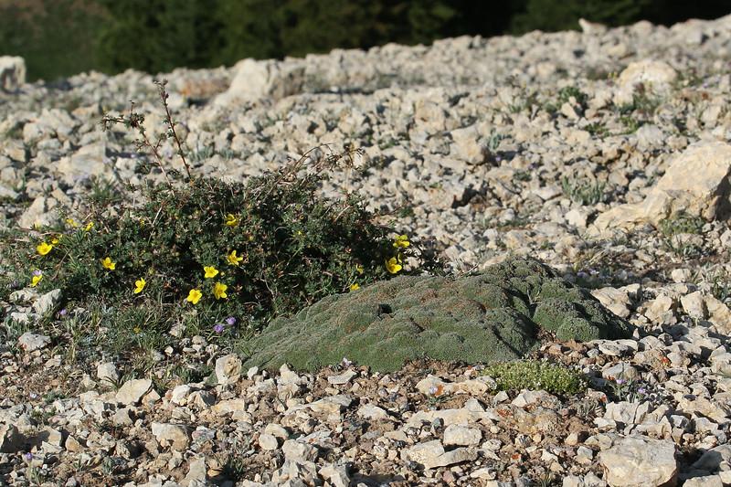 Pentaphylloides floribunda and Kelseya uniflora