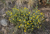 Heterotheca villosa (syn. Chrysopsis villosa)