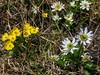Anemone richardsonii and Caltha leptosepala