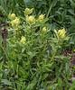 Castilleja sulphurea